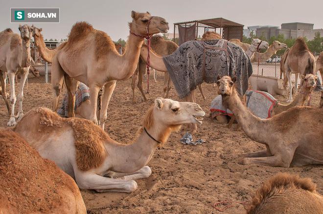 Đi gặp thánh cầu thoát bể khổ, người đàn ông bị bắt trông 100 con lạc đà và đạo lý ẩn sau - Ảnh 3.
