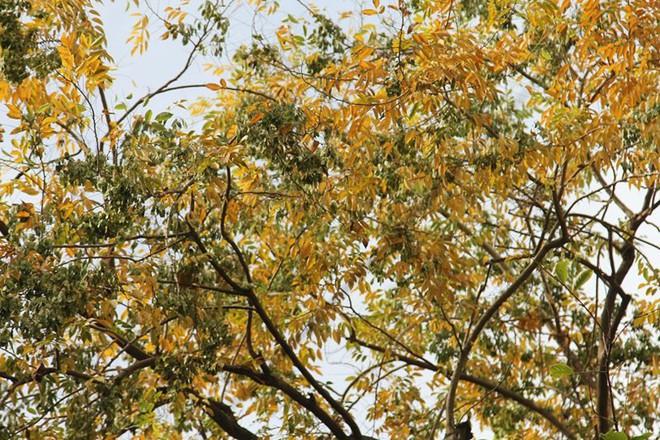 Hàng cây sưa quý ở Hà Nội bất ngờ rụng lá sau khi từ chối bán - Ảnh 1.
