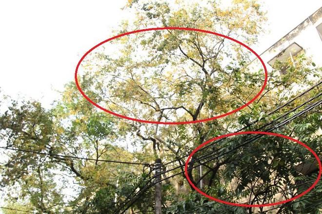 Hàng cây sưa quý ở Hà Nội bất ngờ rụng lá sau khi từ chối bán - Ảnh 2.