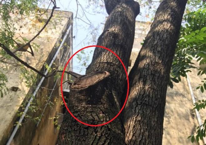 Hàng cây sưa quý ở Hà Nội bất ngờ rụng lá sau khi từ chối bán - Ảnh 12.
