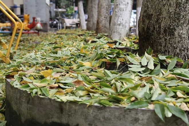 Hàng cây sưa quý ở Hà Nội bất ngờ rụng lá sau khi từ chối bán - Ảnh 3.