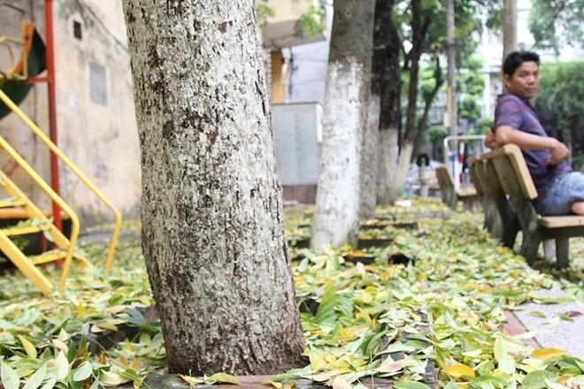 Hàng cây sưa quý ở Hà Nội bất ngờ rụng lá sau khi từ chối bán - Ảnh 4.