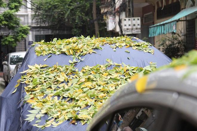 Hàng cây sưa quý ở Hà Nội bất ngờ rụng lá sau khi từ chối bán - Ảnh 6.