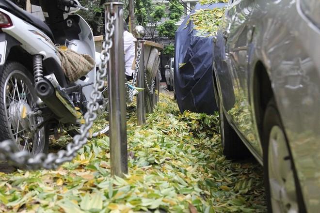 Hàng cây sưa quý ở Hà Nội bất ngờ rụng lá sau khi từ chối bán - Ảnh 7.