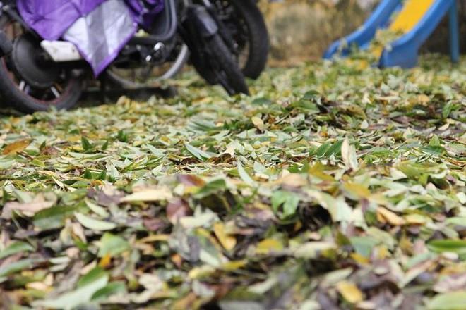 Hàng cây sưa quý ở Hà Nội bất ngờ rụng lá sau khi từ chối bán - Ảnh 8.