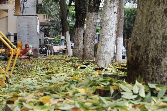 Hàng cây sưa quý ở Hà Nội bất ngờ rụng lá sau khi từ chối bán - Ảnh 9.