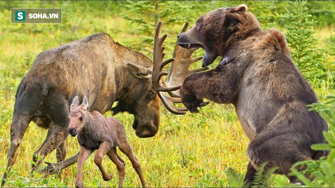 Gấu xám phát điên vì đói, bơi xuống giữa hồ để đuổi theo con mồi - Ảnh 1.