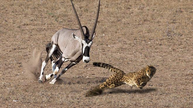 Vì cứu con, linh dương sừng kiếm lùa báo săn đến nơi đến chốn - Ảnh 1.