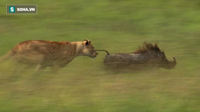 Sư tử mai phục cả nhà lợn bướu nhưng lại bị con mồi làm cho bẽ mặt - Ảnh 1.