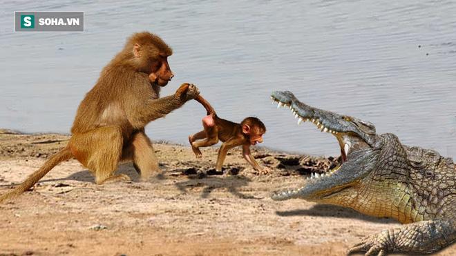 Vượt sông đầy cá sấu, bầy khỉ không mất... 1 cọng lông nhờ quyết định thông minh - ảnh 1