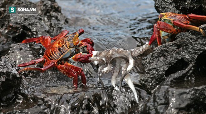 Tưởng chết đến nơi vì bạch tuộc, ghẹ xanh bất ngờ thoát hiểm nhờ kẻ không ai ngờ tới - Ảnh 1.
