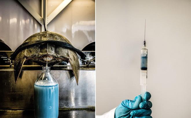 Mỗi lít máu của loài cua này có giá 370 triệu đồng, nhưng tại sao lại đắt đến vậy?
