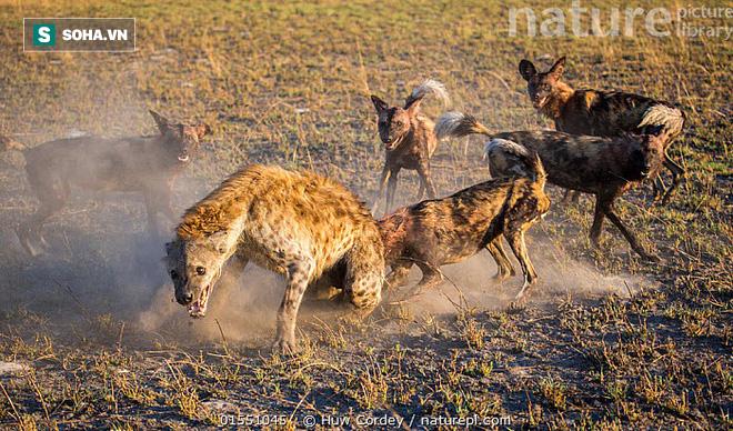 Linh cẩu nương tựa gốc cây để thoát chết khi bị cả chục chó hoang bao vây - Ảnh 1.
