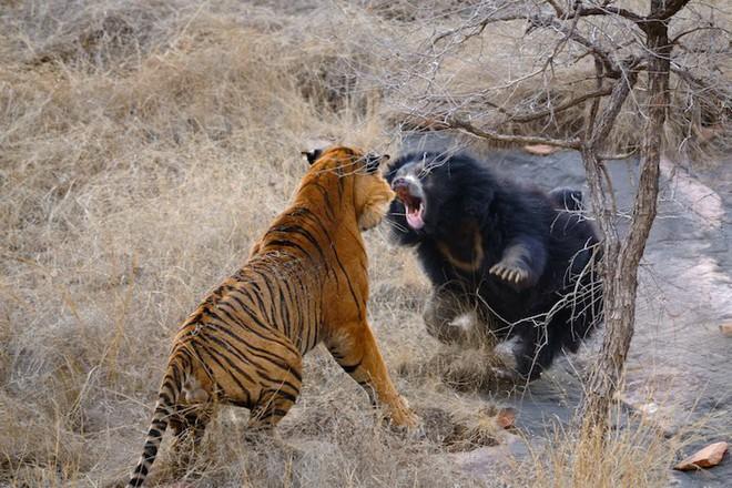 Phát hiện gấu đen đi vào địa bàn, bầy hổ giăng thiên la địa võng, giết chết cho mồi - Ảnh 1.
