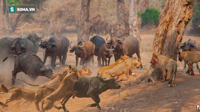 Đại chiến giữa 2 thế lực hùng mạnh nhất thảo nguyên: Sư tử hay trâu rừng sẽ chiến thắng? - Ảnh 1.
