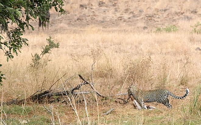 Chuyến đi săn đầu tiên của chú báo đốm con và kết quả bất ngờ