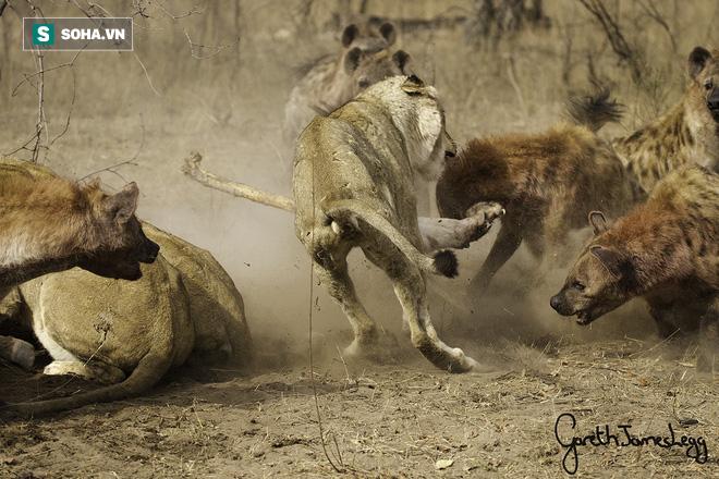 Bị linh cẩu làm nhục, sư tử phẫn nộ truy sát và màn trả thù đáng sợ - Ảnh 1.