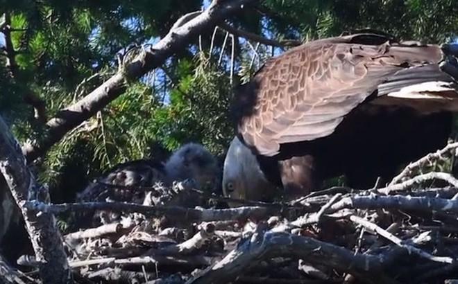 Video: Đại bàng mang diều hâu non về tổ, không ăn thịt mà chăm sóc như con