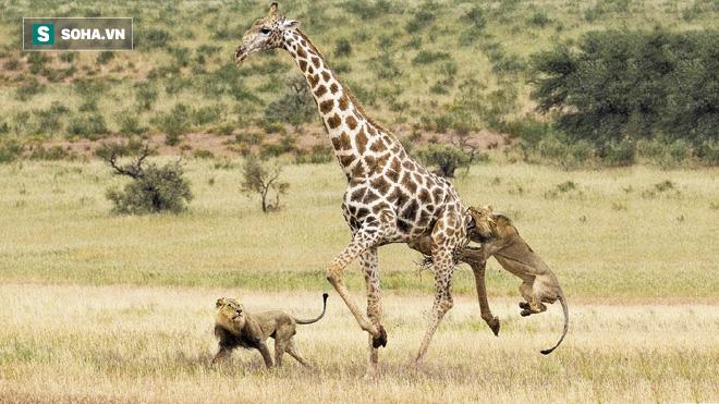 Sư tử săn kẻ khổng lồ nhưng dính cú đá hậu: Kết cục bất ngờ diễn ra vào sáng hôm sau - Ảnh 1.