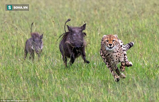 Vừa đuổi kịp lợn bướu, báo bị phản công: Tử chiến giữa kẻ đi săn và con mồi ra sao? - ảnh 1