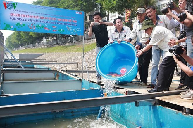 Cá Koi bơi lội khỏe mạnh sau hơn 24h được thả xuống sông Tô Lịch - Ảnh 2.