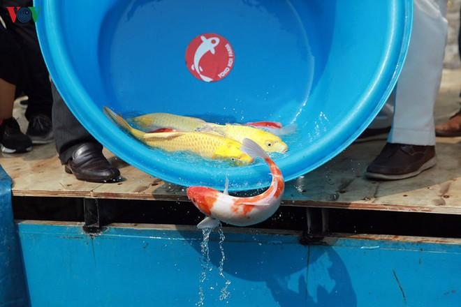 Cá Koi bơi lội khỏe mạnh sau hơn 24h được thả xuống sông Tô Lịch - Ảnh 3.