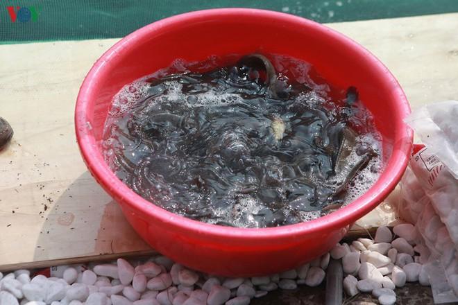 Cá Koi bơi lội khỏe mạnh sau hơn 24h được thả xuống sông Tô Lịch - Ảnh 4.