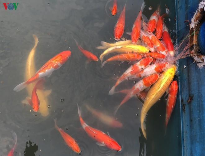 Cá Koi bơi lội khỏe mạnh sau hơn 24h được thả xuống sông Tô Lịch - Ảnh 5.