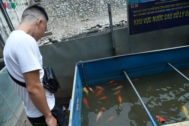 Cá Koi bơi lội khỏe mạnh sau hơn 24h được thả xuống sông Tô Lịch - Ảnh 6.