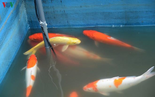 Cá Koi bơi lội khỏe mạnh sau hơn 24h được thả xuống sông Tô Lịch - Ảnh 8.