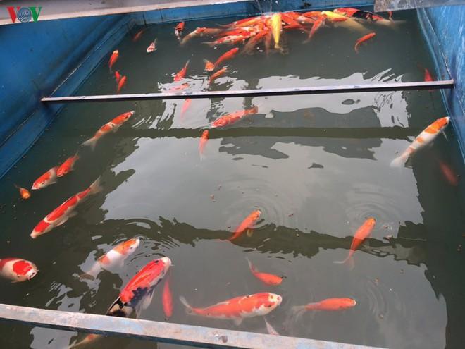 Cá Koi bơi lội khỏe mạnh sau hơn 24h được thả xuống sông Tô Lịch - Ảnh 9.