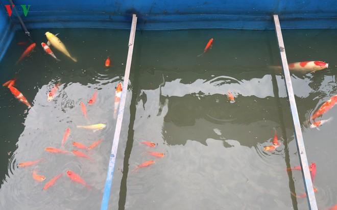 Cá Koi bơi lội khỏe mạnh sau hơn 24h được thả xuống sông Tô Lịch - Ảnh 10.