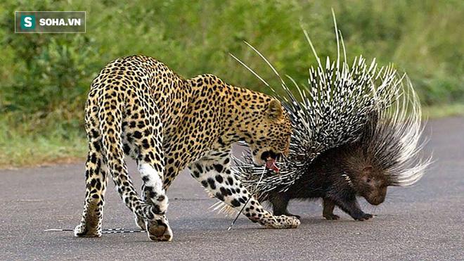 Báo hoa hiếu thắng tập tễnh một chân vì nhắm vào con mồi không nên động chạm - Ảnh 1.
