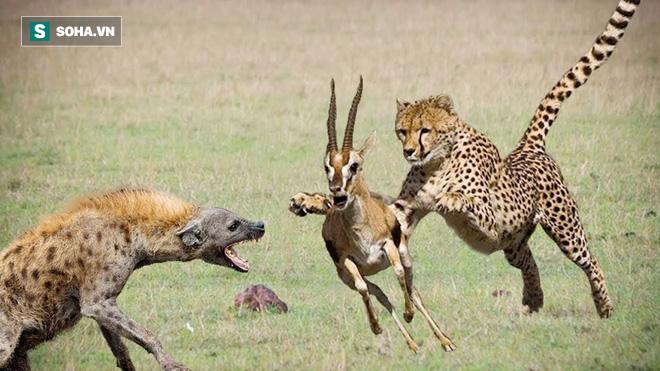 Giữa vòng vây báo săn và linh cẩu khát máu, linh dương thoát chết đầy ngoạn mục: Vì sao? - ảnh 1
