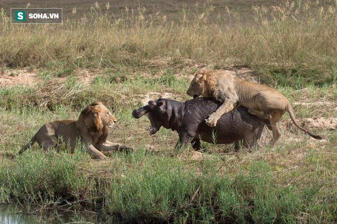 Sư tử trẻ đầy tham vọng tấn công hà mã và bài học cho thói ngông cuồng - Ảnh 1.