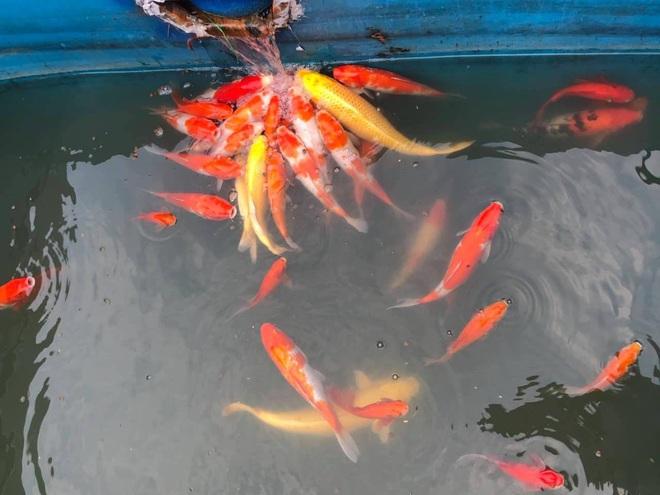 Camera canh giữ ngày đêm, cá koi Nhật vẫn chết trên sông Tô Lịch - Ảnh 14.