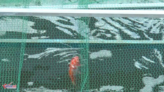 Camera canh giữ ngày đêm, cá koi Nhật vẫn chết trên sông Tô Lịch - Ảnh 8.