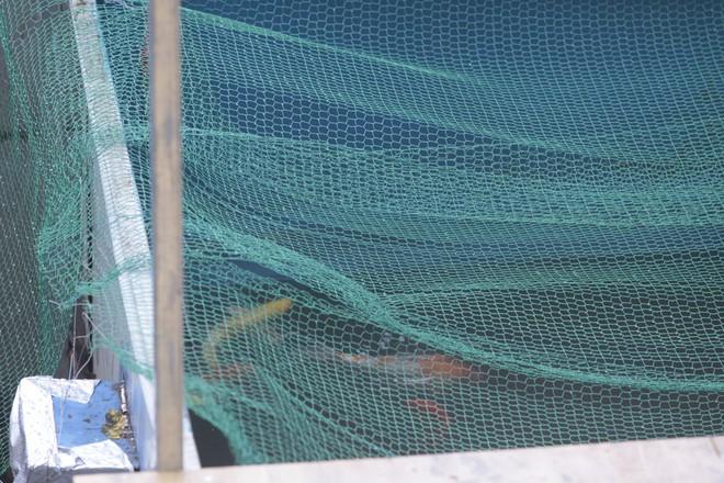 Camera canh giữ ngày đêm, cá koi Nhật vẫn chết trên sông Tô Lịch - Ảnh 9.