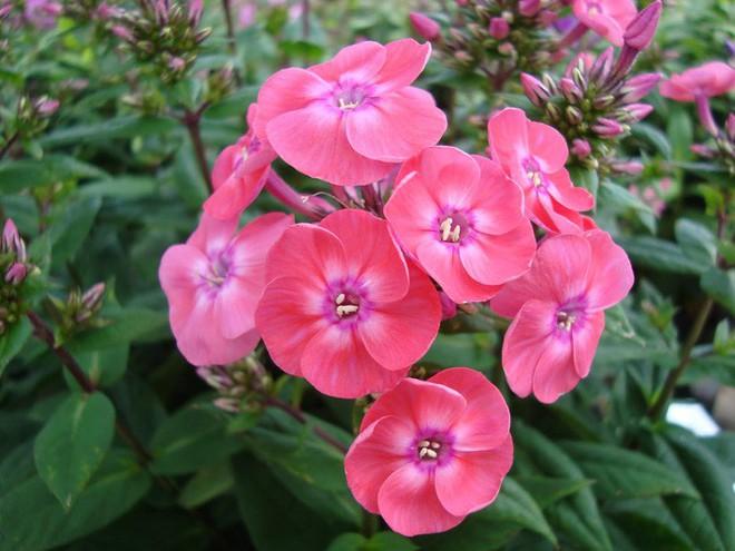 10 loại hoa nếu trồng có thể gây nguy hiểm cho sức khỏe nhưng bạn có thể không biết - Ảnh 4.