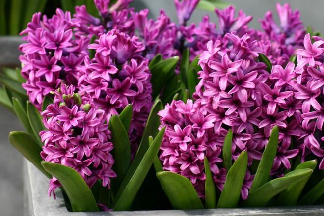 10 loại hoa nếu trồng có thể gây nguy hiểm cho sức khỏe nhưng bạn có thể không biết - Ảnh 7.