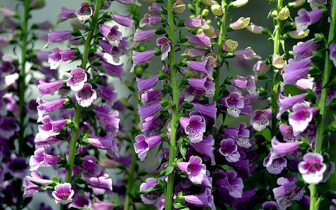 10 loại hoa nếu trồng có thể gây nguy hiểm cho sức khỏe nhưng bạn có thể không biết - Ảnh 9.