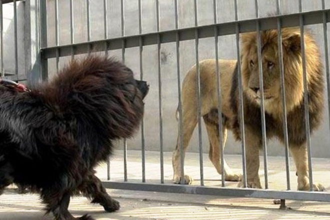 Ngao Tây Tạng đấu với chó trụi lông, vừa đấu đã lăn ra chết: Lý do cảnh tỉnh nhiều người - Ảnh 1.