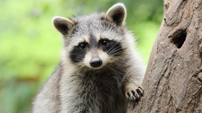Quyết tâm tăng cân chờ đông tới, gấu mèo đi ăn trộm nhưng rất có tâm - Ảnh 1.