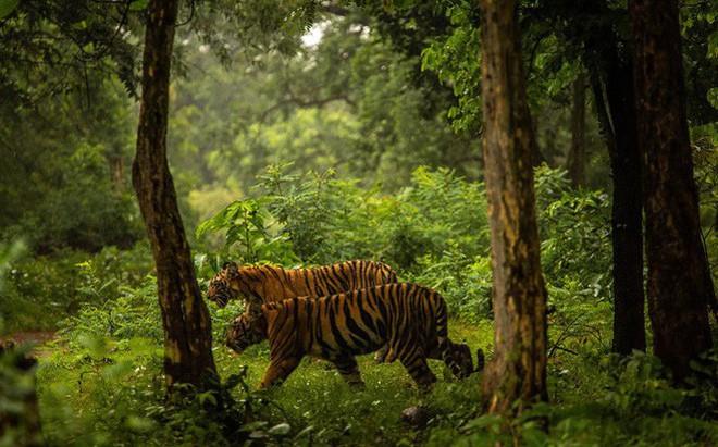 Hòa Bình: Gia súc liên tục bị giết hại ăn thịt, dân hoang mang nghi địa bàn xuất hiện hổ, báo