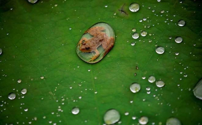 24h qua ảnh: Ếch con nằm trên lá sen sau trận mưa ở Nepal