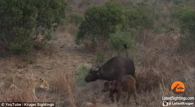 Soup sáng: Trâu rừng tử chiến với 3 sư tử đói để bảo vệ con - Ảnh 2.