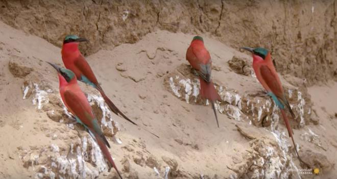 Sở hữu vẻ ngoài đẹp rực rỡ nhưng loài chim này lại có cách triệt hạ con mồi đầy bạo lực - Ảnh 1.