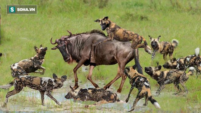 Tả xung hữu đột với bầy chó hoang, linh dương lao xuống nước liệu có thoát chết? - Ảnh 1.
