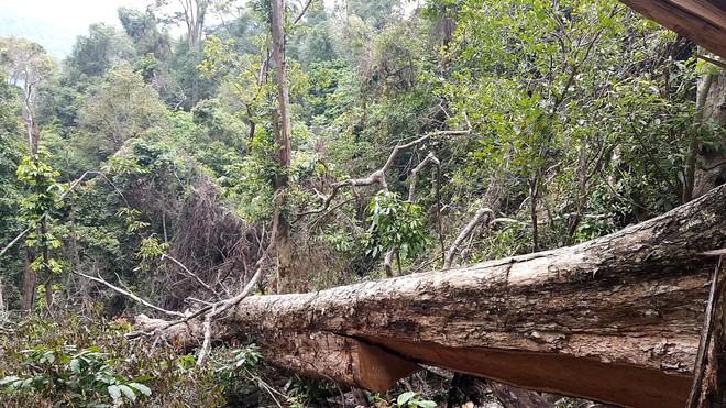 Bị đục thân, đổ dầu đốt gốc 2 cây gỗ hương cổ thụ chết, chủ rừng nói không thiệt hại vì gỗ vẫn còn ở đó - Ảnh 2.