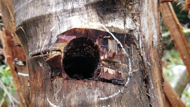 Bị đục thân, đổ dầu đốt gốc 2 cây gỗ hương cổ thụ chết, chủ rừng nói không thiệt hại vì gỗ vẫn còn ở đó - Ảnh 4.